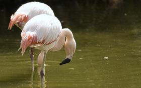 Обои птицы, клюв, розовые, фламинго