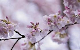 Картинка ветка, весна, сакура