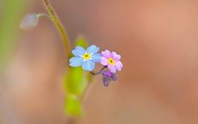 Картинка цветы, природа, краски, лепестки, незабудка