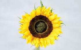 Обои цветок, желтый, подсолнух, лепестки