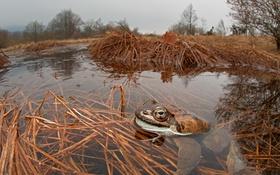 Обои жаба, пруд, природа