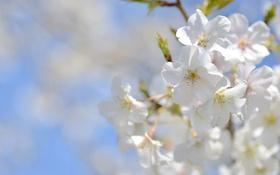 Картинка небо, макро, вишня, весна, сакура