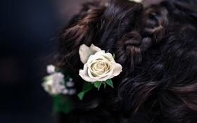 Обои цветы, розы, брюнетка, прическа, коса