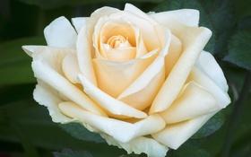 Обои макро, нежность, роза, лепестки