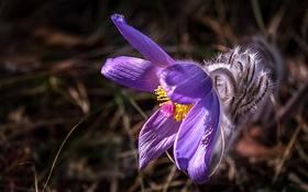 Обои макро, весна, лепестки, прострел