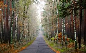 Обои дорога, осень, лес, деревья, туман, березы