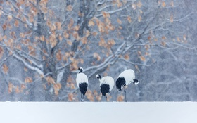 Обои зима, снег, птица, японский журавль