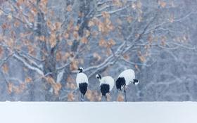 Картинка зима, снег, птица, японский журавль