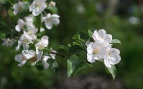 Обои ветка, весна, яблоня