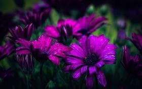Обои капли, боке, Purple daisies