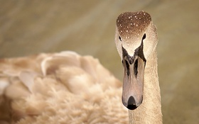 Обои природа, птица, лебедь