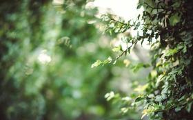 Обои листья, ветки, куст, зеленые