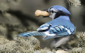Обои птица, арахис, Голубая сойка