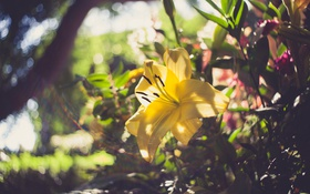 Обои цветок, лилия, желтые лепестки