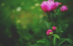 Обои цветок, бутон, пион