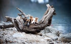 Картинка собаки, река, дерево