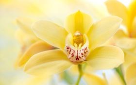 Обои макро, желтый, орхидея