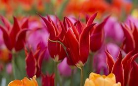 Картинка макро, весна, тюльпаны, бутоны