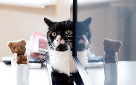 Обои кошка, кот, усы, взгляд, отражение