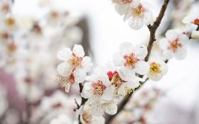 Обои ветка, весна, слива