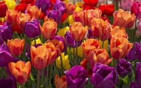 Обои желтый, красный, яркий, весна, тюльпаны, лиловый