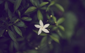Обои цветок, лепестки, белые
