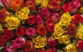 Обои букет, много, Розы