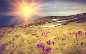 Обои трава, цветы, горы, рассвет, луг, крокусы, лучи солнца