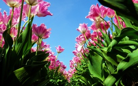 Картинка небо, розовый, тюльпаны