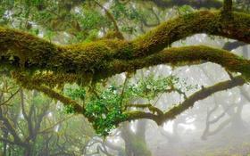 Обои листья, деревья, ветки, туман, Португалия, лавр, Madeira Natural Park