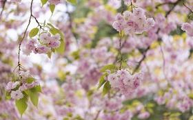 Обои дерево, розовый, весна, сакура, цветение