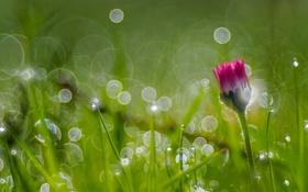 Обои трава, макро, роса, маргаритка