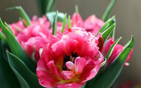 Обои розовый, тюльпан, лепестки