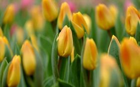 Обои макро, желтый, тюльпаны, бутоны