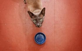 Обои кошка, взгляд, пустая миска