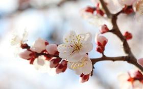 Обои ветка, весна, цветение