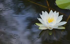 Обои вода, отражение, белая, нимфея, водяная лилия