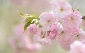 Картинка вишня, розовый, нежность, сакура