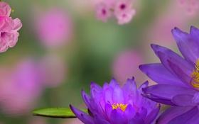 Обои коллаж, нимфея, водяная лилия