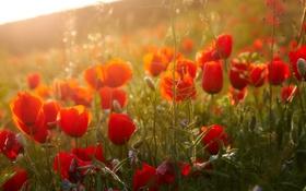 Картинка цветы, природа, маки, flowers, poppies