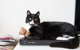 Обои игрушка, взгляд, усы, кот