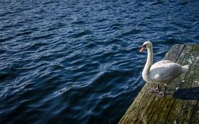 Обои вода, птица, лебедь