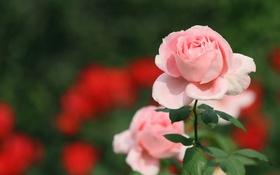 Обои розовый, роза, лепестки, бутон