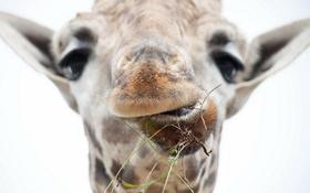 Обои морда, макро, жирафа