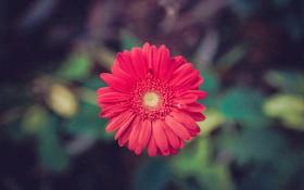 Обои цветок, лепестки, красные