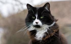 Обои кошка, глаза, кот, усы, взгляд, фон