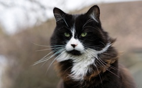 Картинка кошка, глаза, кот, усы, взгляд, фон