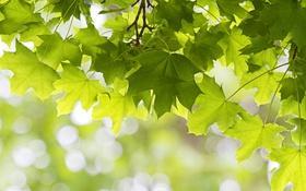 Обои листья, зеленый, дерево, клен
