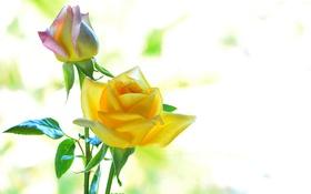 Обои цвета, макро, розы, лепестки