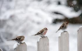 Обои зима, птицы, забор